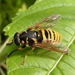 Wespen-Moderholzschwebfliege ((Large Wasp-like Hoverfly, Temnostoma vespiforme)