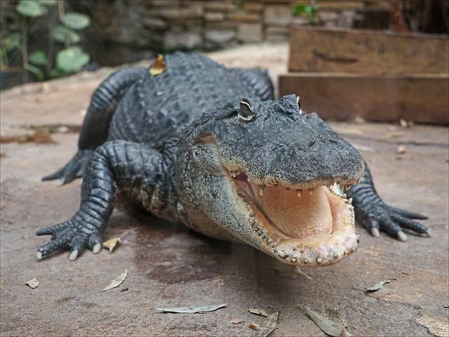 Alligator du Mississipi (Zoo-Parc de Beauval, France)