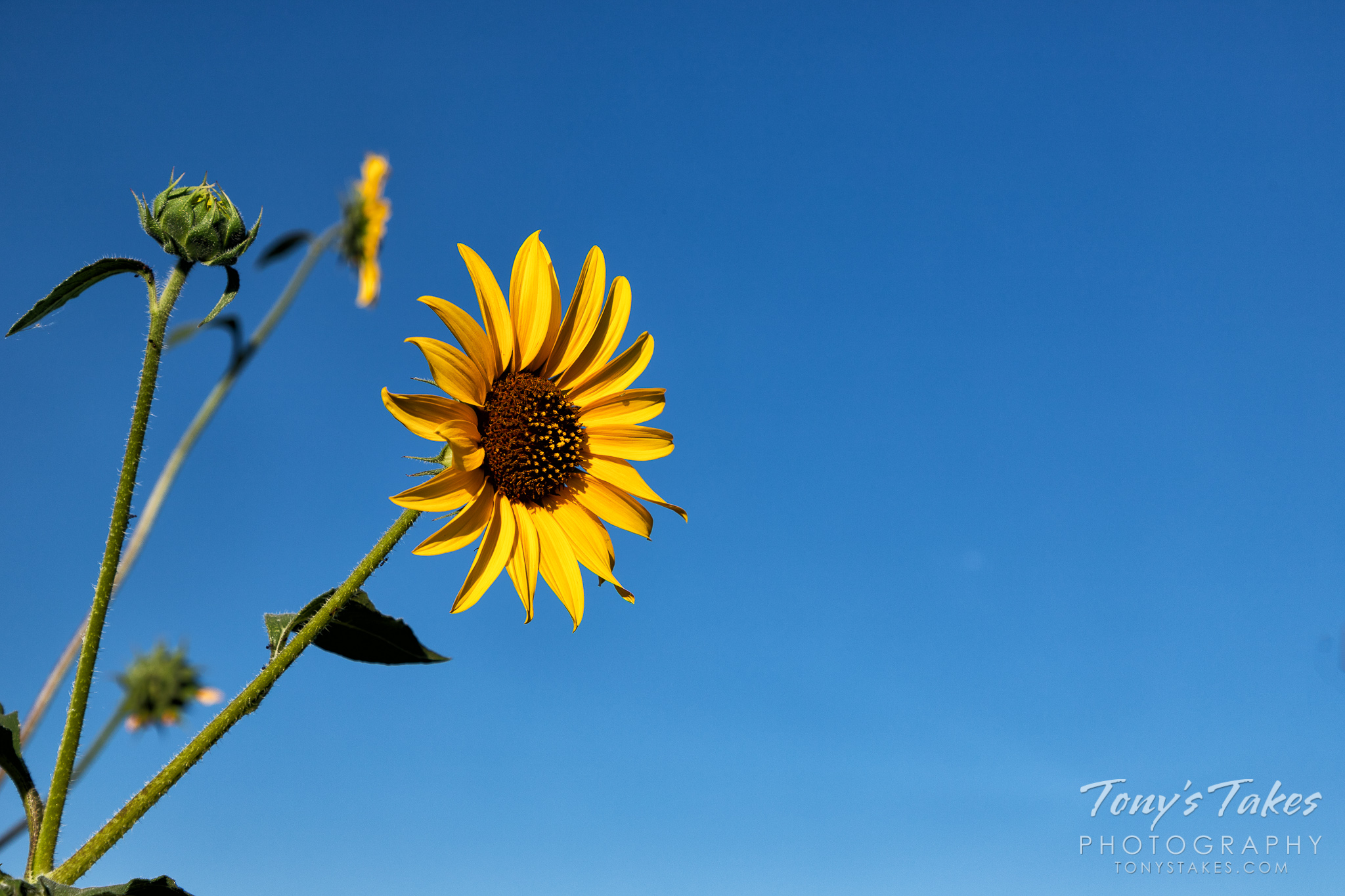 Brilliant yellow sunflower and the blue Colorado skies