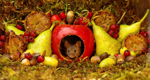 wild mouse inside a apple with Autumn fruits  (8)