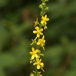 Gewöhnlicher Odermenning (Agrimonia eupatoria) auf der Schurenbachhalde