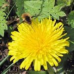 Großer Wollschweber (Bombylius major) auf Löwenzahn (Taraxacum sect. ruderalia) im NSG Thielenbruch und Thurner Wald