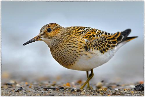 eastforklake ohio raphaelkopanphotography d500 nikkor600f4evr 14xtciii sandpipers shorebirds nikon wildlife