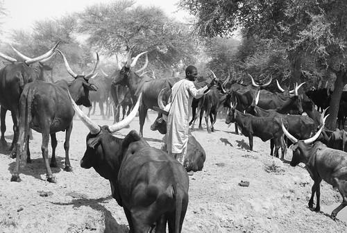 cattle herder localpeople animals mammals dryforests people human humanbeing humanbeings humans person tchirozerine agadezregion niger ne event photocompetition glf2018nairobi