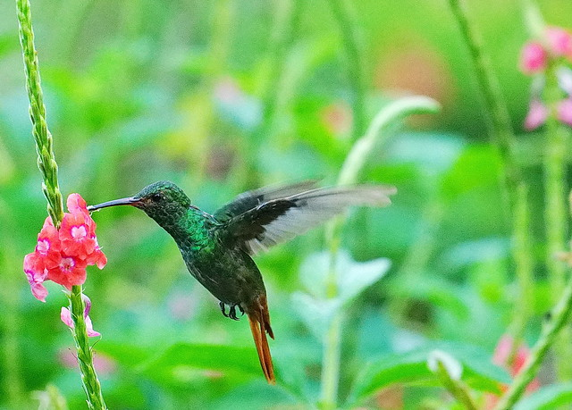 Hummingbird, Central Valley, Costa Rica