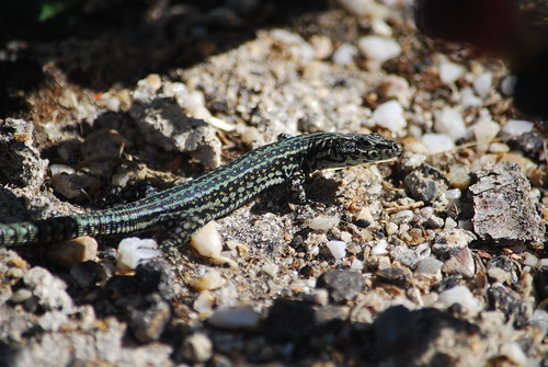 Bocage's wall lizard | by Kevin Byrnes