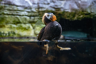 Adorable Tufted Puffin | by zenseas