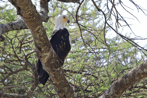 African fish eagle   by dmmaus