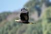 Carancho - Southern crested-caracara by Diego Kondratzky