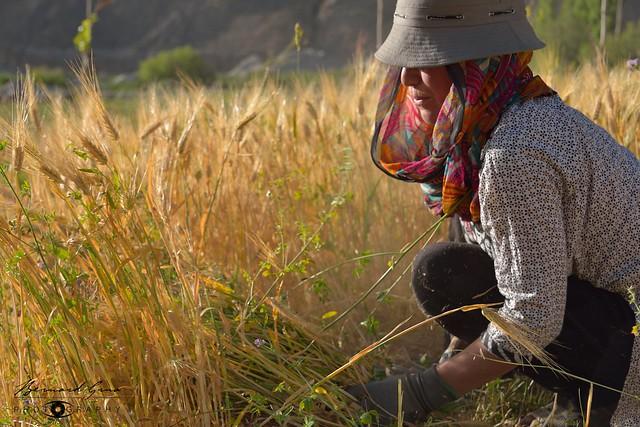 Couper les épis, une dame Wakhi moissonnant de l'orge dans la vallée du Chapursan 06/08/2018 © Bernard Grua