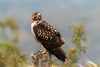Red-tailed Hawk (Buteo jamaicensis) by Brown Acres Mark