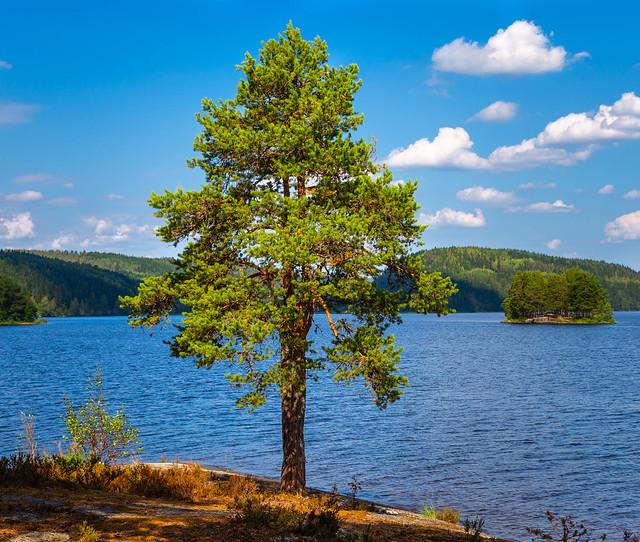 Beautiful Pinetree