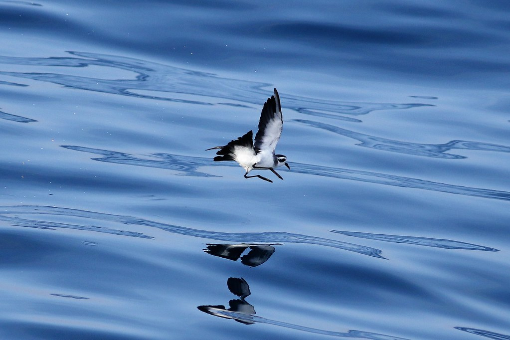 White-faced Storm-Petrel - Welker Canyon, MA - August 26, … | Flickr