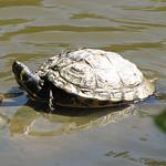 Gelbbauch-Schmuckschildkröte (Yellow-bellied Slider, Trachemys scripta scripta)