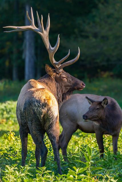Elk of Benezette   2016 - 22