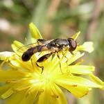 Gemeine Keulenschwebfliege (Thick-legged Hoverfly, Syritta pipiens)