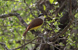 Great Kiskadee Benson State Park  4-18 | by johnd1964
