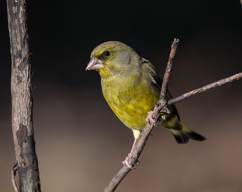 Verdelhao | Carduelis chloris | European Greenfinch | by Ruiworld