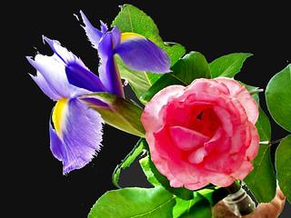 Backround study - iris and rose on black   by Julie70 Joyoflife