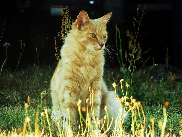The brown cat in the urban jungle Nazelles (37 Indre et Loire) 16-08-18a