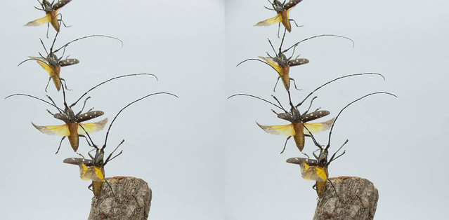Psacothea hilaris taking off, stereo parallel view