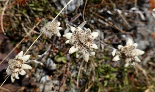 Found some edelweiss! | by danlmarmot