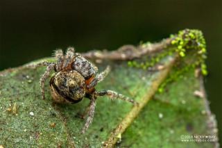 Broad-headed bark spider (Caerostris sp.) - DSC_2833 | by nickybay