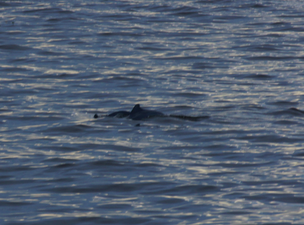 Tucuxi (Grey River Dolphin)