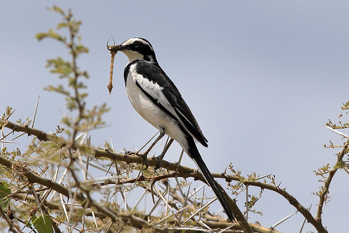 African pied wagtail feeding | by dmmaus