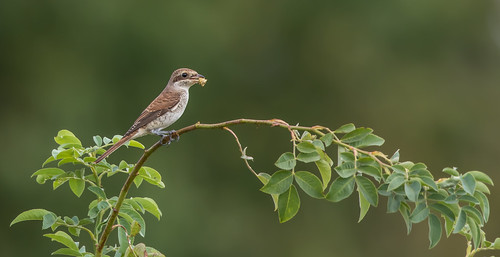 Neuntöter Jungvogel mit Wanze | by Micarusa