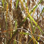 Breitblättriger Rohrkolben (Typha latifolia) am Mündungs-Ölbachteich