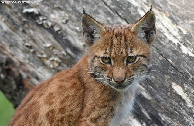 Eurasian Lynx cub - Dierenrijk
