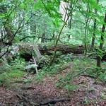 Totholz im NSG Thielenbruch und Thurner Wald