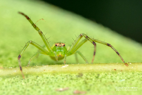 Crab spider (Diaea sp.) - DSC_2321 | by nickybay