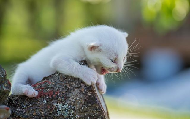 kittens II (03) white