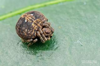 Orb weaver spider (Araneidae) - DSC_2022 | by nickybay