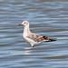 Flickr photo 'Chroicocephalus ridibundus (Black-headed Gull) - Juvenile' by: Arthur Chapman.
