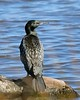 Little black shag - Travis Wetland - Phalacrocorax sulcirostris by Maureen Pierre