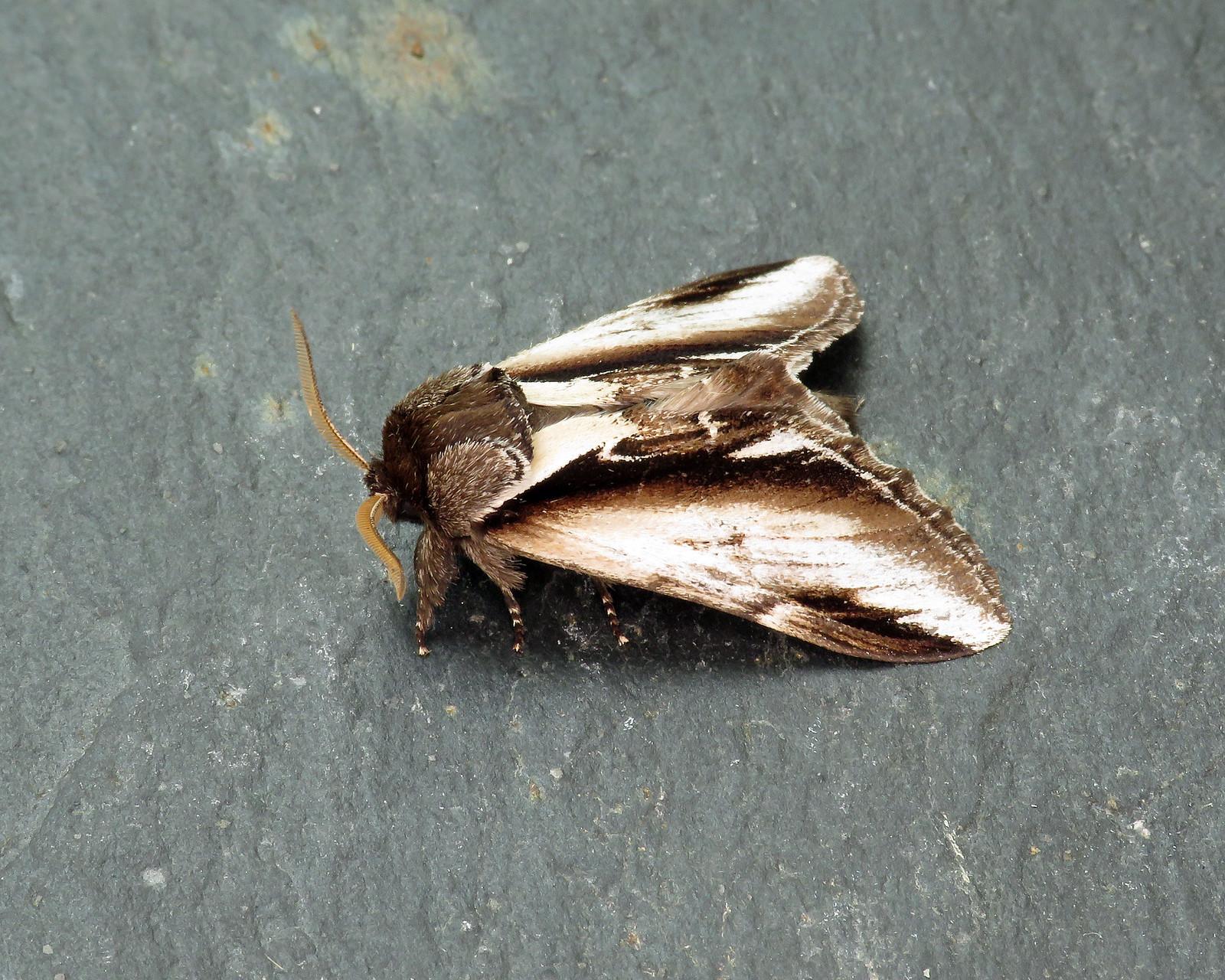 71.018 Lesser Swallow Prominent - Pheosia gnoma