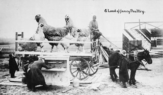 """A Load of fancy Poultry."", Toronto, Ontario / « A Load of fancy Poultry » [Un chargement de belle volaille], Toronto (Ontario)"