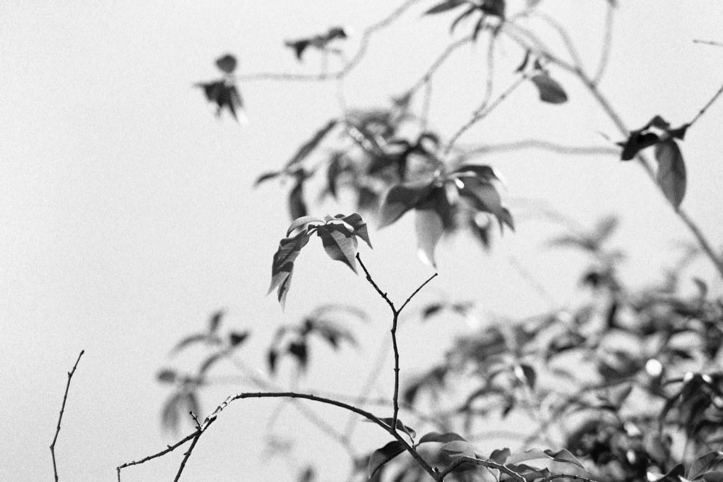 Jaboticabeira (fotografia analógica - Nikon F401S, Ilford Pan 400 @ 800).