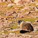 Marmot by Randy Ruder