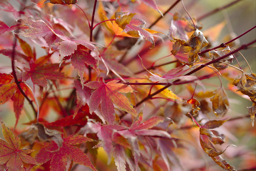 Late maple leaves | by aenigmatēs