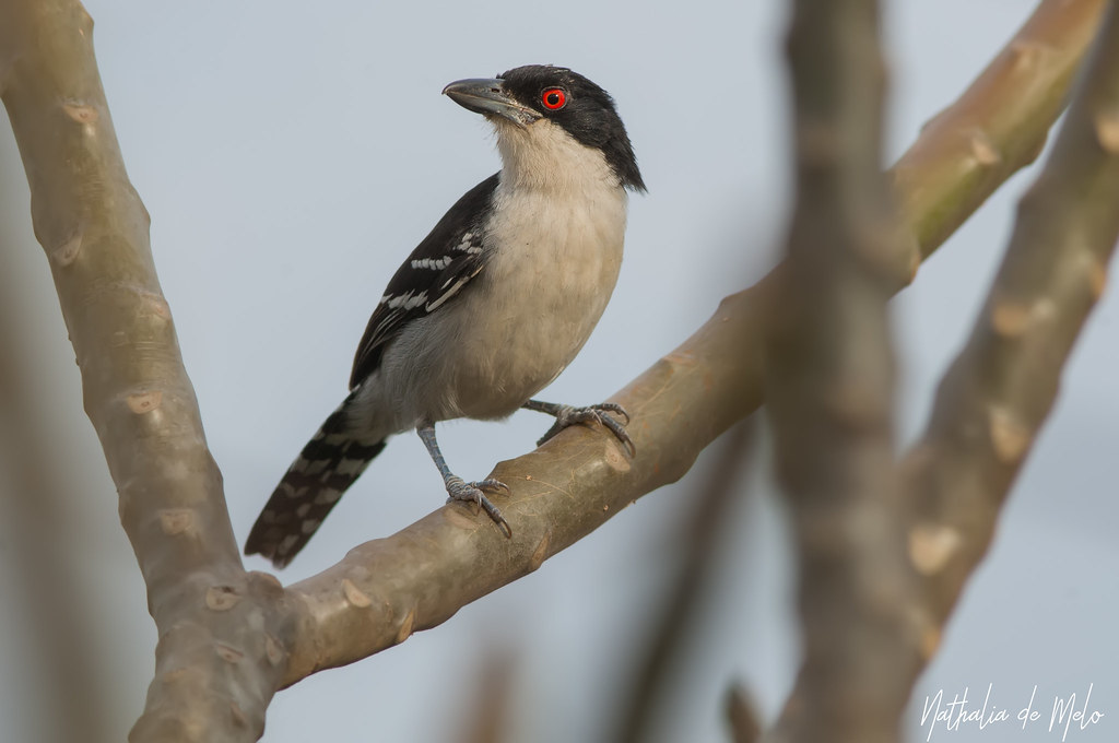 choró-boi (Taraba major) - Great Antshrike