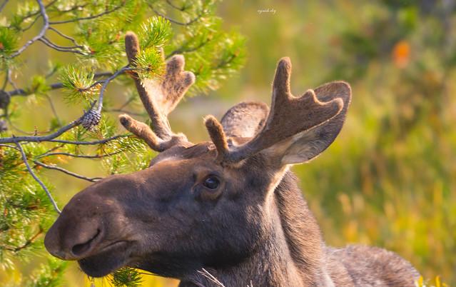 Moose portrait