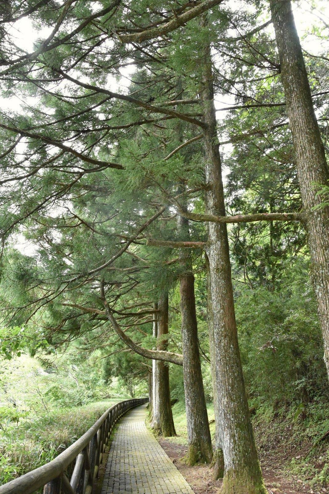 Hakone - chemin des cèdres