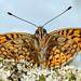 France Butterflies 4. Fritillaries