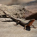 Eslizón de Labios Moteados - Photo (c) bathyporeia, algunos derechos reservados (CC BY-NC-ND)