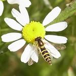 Gemeine Stiftschwebfliege (Long Hoverfly, Sphaerophoria scripta), Weibchen