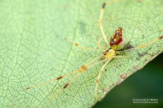 Comb-footed mirror spider (Thwaitesia sp.) - DSC_2373